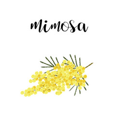 mimosa branch spring flower vector image