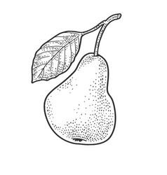 Pear fruit sketch vector