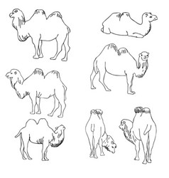 set of camels vector image