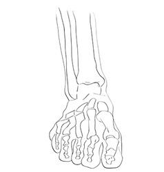 front view foot bones vector image vector image
