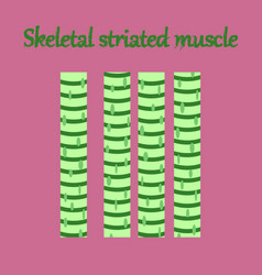 Human organ icon in flat style skeletal striated vector