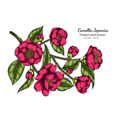 pink camellia japonica flower and leaf drawing vector image
