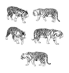Set of tigers vector