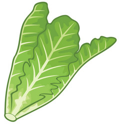 lettuce vector image vector image