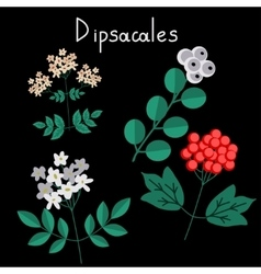 Dipsacales plant order vector