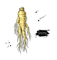 ginseng root drawing medical plant sketch vector image