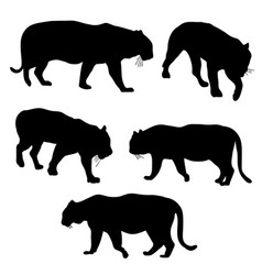 set of tigers vector image