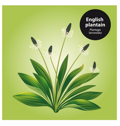english plantain plantago lanceolata vector image