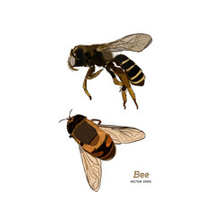 engraving of honey bee vector image
