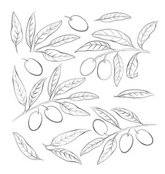 olive sketch element collection olive berry vector image