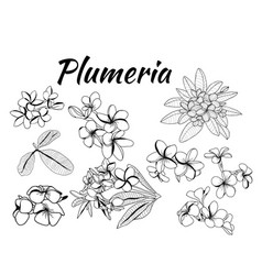 collection of plumeria flower and leaves vector image