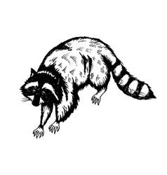 Raccoon engraving vector