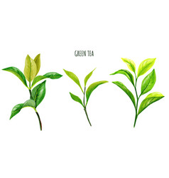 green tea branches and leaves hand drawn vector image
