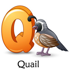 Letter q is for quail bird cartoon alphabet vector