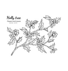 Holly berry and leaf drawing with line art on vector