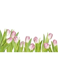 Pink fresh tulips on white EPS 10 vector image
