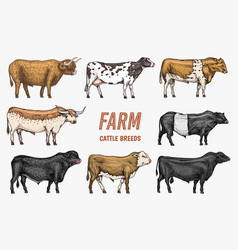 Farm cattle bulls and cows different breeds vector