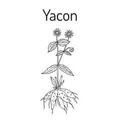 Yacon smallanthus sonchifolius or peruvian vector