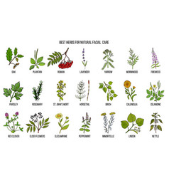 Best medicinal herbs for natural facial care vector