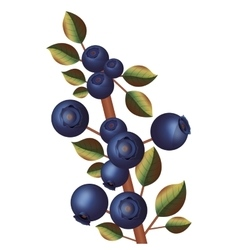 Branch with purple blueberries thick stalk vector