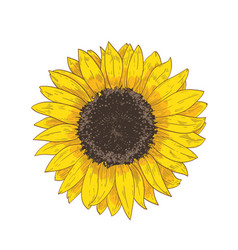 Elegant natural realistic drawing of sunflower vector