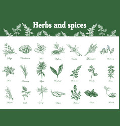 Herbs and spices set hand drawn vector
