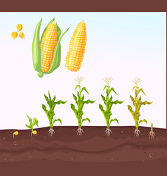 Infographic corn planting planting process vector