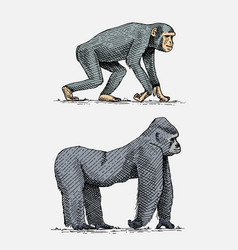 western or mountain gorilla and chimpanzee hand vector image