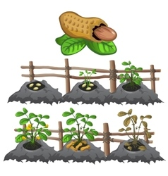 Growth stages of peanuts agriculture vector image vector image