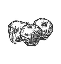 Apples engraving style vector image
