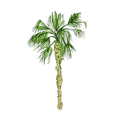 Coconut palm or queen palmae with leaves vector