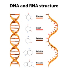 DNA and RNA structure vector image