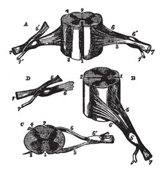 Different view of the spinal cord vintage vector