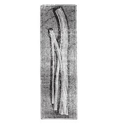 Nerve trunk dividing vintage vector