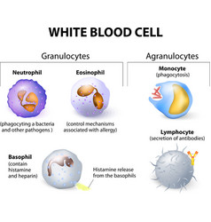 leukocytes vector image vector image