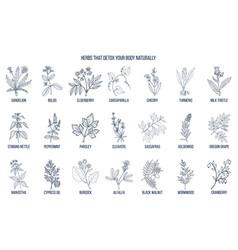 best herbs for body detox vector image