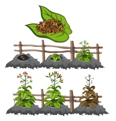 Growth stages of tobacco agriculture vector image vector image