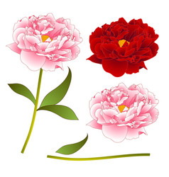 pink and red peony flower isolated on white vector image