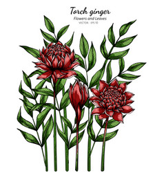 Red torch ginger flower and leaf drawing with vector