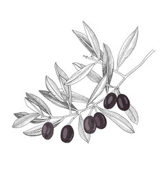 hand drawn branch with black olives vector image