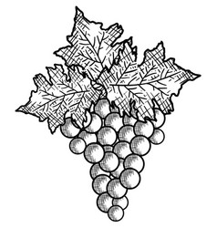 Best wine grapes fruit vector