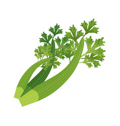 Coriander leaves fresh vector