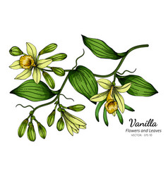 vanilla flower and leaf drawing with line art on vector image