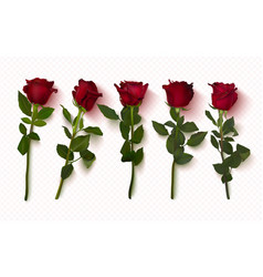 set realistic red roses on a transparent vector image