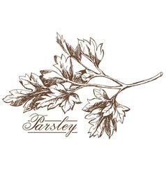 Parsley hand drawing vector