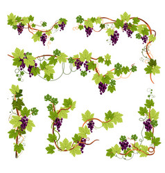 vine decor grapes bunches on branches or twigs vector image