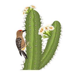 Gila woodpecker bird on saguaro cactus in desert vector