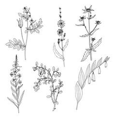 ink drawing plant of celandine vector image
