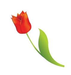 red tulip vector image