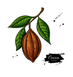 Cocoa branch superfood drawing organic vector